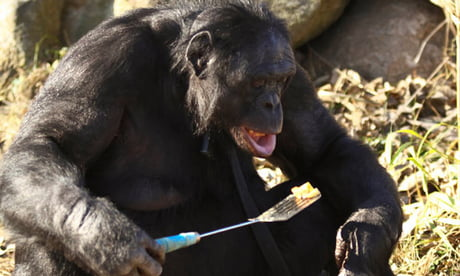 Kanzi the bonobo lighting a fire and cooking a meal